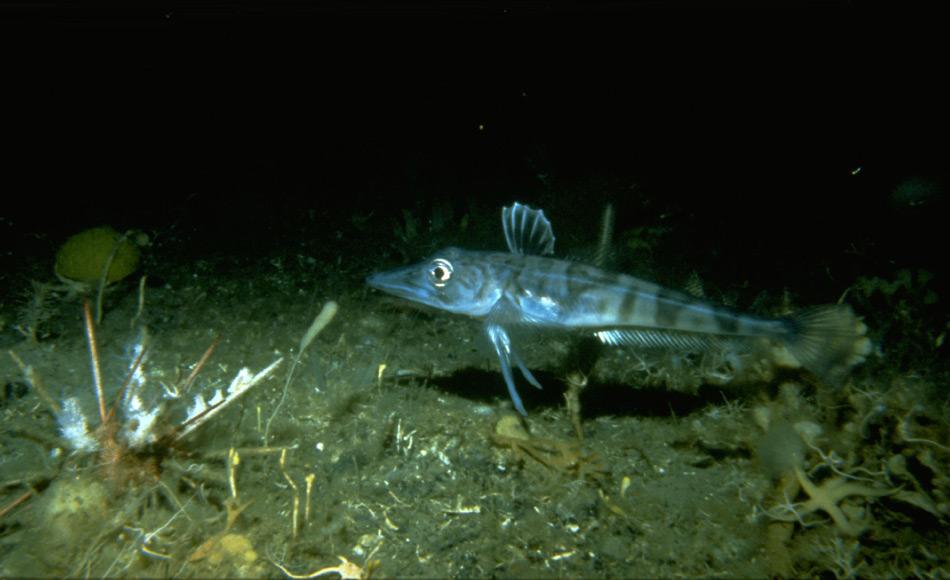 Die Fischarten der Antarktis sehen auf den ersten Blick aus, wie von einem anderen Planeten. Abgeschirmt von der restlichen Welt, haben sich in den vergangenen 30 Millionen Jahre wohl unzählige neue Arten gebildet, mehr als in den Tropen. Bild: J. Gutt