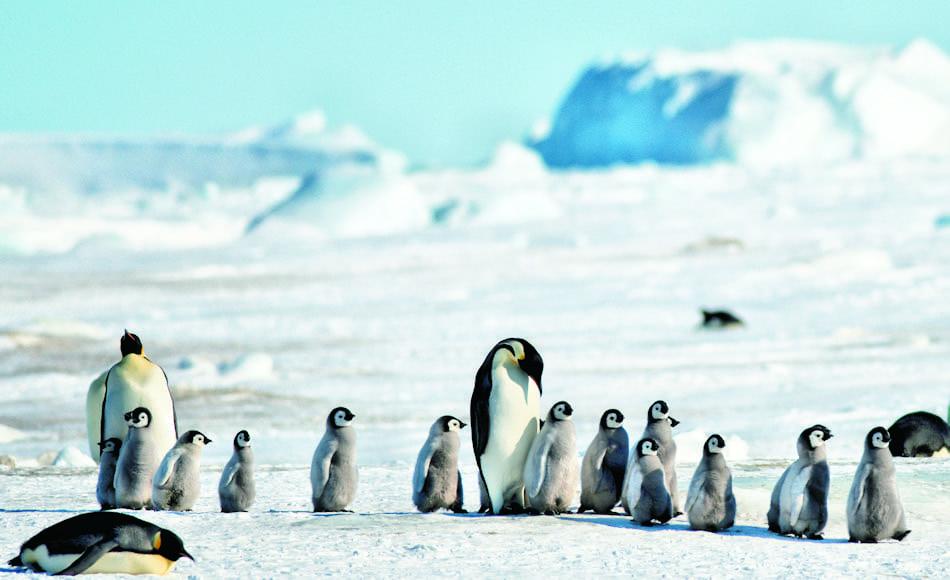Kaiserpinguine schlüpfen im Juli, mitten im Winter. Nach rund 4.5 Monaten müssen sie selber zur Eiskante wandern und flügge werden. Die elterlichen Pflichten beschränken sich auf die Aufzucht. Bild: Michael Wenger