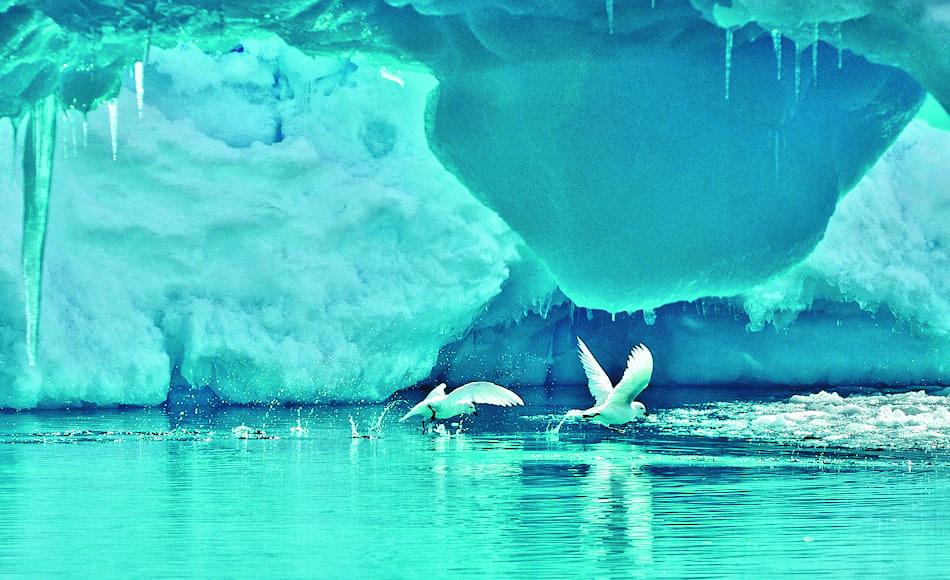 Die schneeweissen Vögel mit ihrem markanten schwarzen Schnabel sind echte Antarktisbewohner. Sie brüten auf eisfreien Stellen auf dem Kontinent. Mit Hilfe der Ablagerungen können Forscher das Alter der Kolonien bestimmen und Rückschlüsse auf die Vergletscherung ziehen. Bild: Michael Wenger