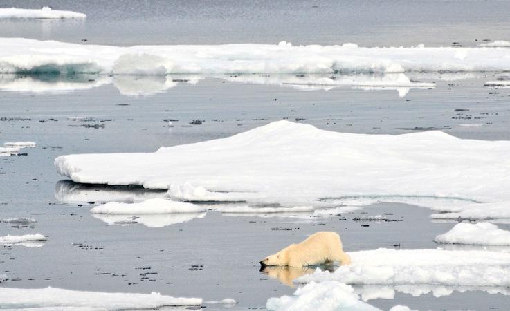 Die Eisbären in Ostgrönland gelten als eigene Subpopulation, die sich aufgrund mangelnder