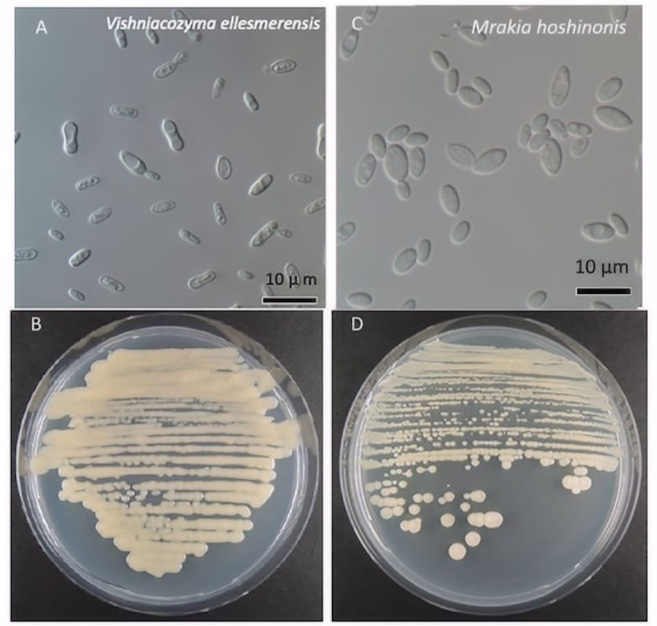 Die beiden neuentdeckten Pilzarten sind ähnlich wie Hefepilze und bilden bei guten Nährböden Kolonien. Links: Vishniacozyma ellesmerensis, rechts: Mrakia hoshinonis