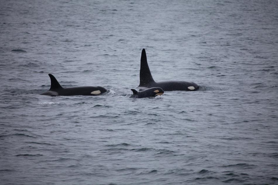 Orcas leben in festen Grossfamilien, die ein Leben lang zusammen bleiben. (Foto: Skeeze/Pixabay)